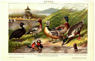 Lithografie: Enten Original 1903 no copy Lithograph Druck Bild Gemälde Stockente