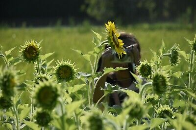 Photo Digital Picture Wallpaper Japanese  Sunflower and girl