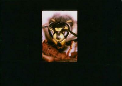 Common wasp. - Vintage photo