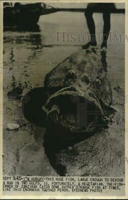 1965 Press Photo Enormous toothed perch caught by fishermen in Zanzibar