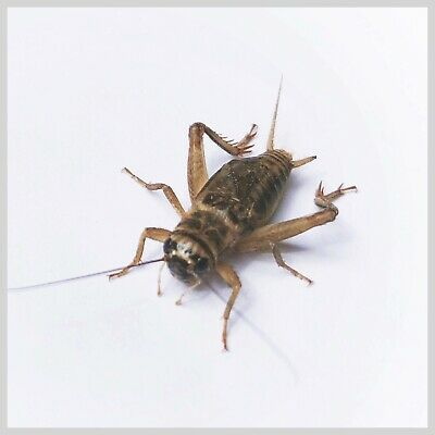 1000 Live Crickets - Acheta domesticus - Six sizes