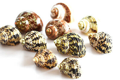 "10 Hermit Crab Deluxe Turbo Shells Assorted Natural Medium Size (5/8-1"" opening)"
