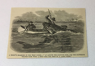 1878 magazine engraving ~ MAN HARPOONING TIGER SHARK ~ West Indies