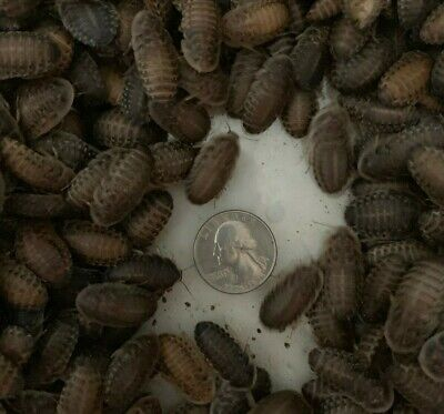 500 large (1 in - 1.25 in) dubia roach feeder insects for larger reptiles - $85