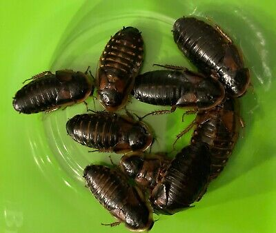 100 Extra Large Adult Female Dubia Roaches for feeding large reptiles - $28