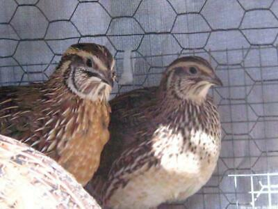 Jumbo Brown Hatching EggsBy Hatch Poultry Farms 25