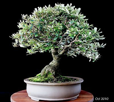 BANKSIA INTEGRIFOLIA.- BONSAI TREE STARTER - Excellent and Fast strong Grower