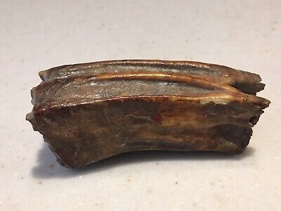 Large Very Old Animal Tooth Calcified