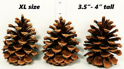 "Lot of 50 - Oregon Ponderosa Pine Cones Organic Natural XL Size 3.5"" - 4"" tall"