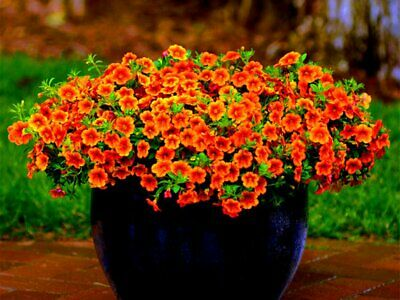 Plants Seeds Bulbs Fd1209 Petunia Seeds Shuttlecock Flower Horn Sweet Potato Bonsai Flowers 50pcs Garden Patio Omnitel Com Na
