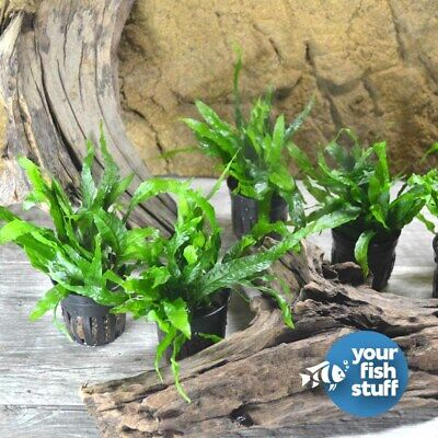 Java Fern 'Petite' Potted Live Aquarium Plant **Buy 1 Get 1 50% OFF**