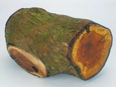English Crotch Yew woodturning or carving log blank.  160 x 300mm.  3715A