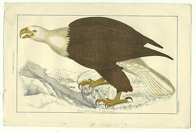Hand-coloured, steel engraving of an eagle from Goldsmith's '...Animated Nature'