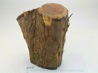 English Crotch Yew woodturning or wood carving log blank. 150 x 270mm. 4005A