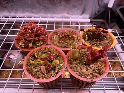 Carnivorous Plants Collection / Plantes Carnivores BEGINNER ASSORTIMENT X5