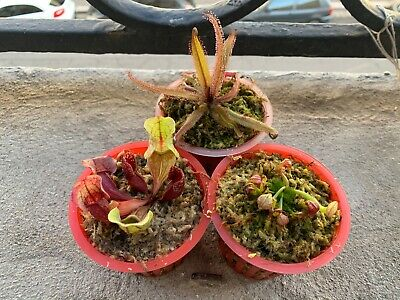 Carnivorous Plant Collection / Plante Carnivore Assortiment X3 B