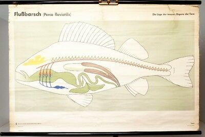 Schulwandkarte Role Map Wall Chart Perch Perca Fluviatilis Fish