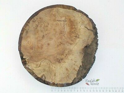 English Burr Burl Elm woodturning or wood carving bowl blank. 255 x 42mm. 4132A