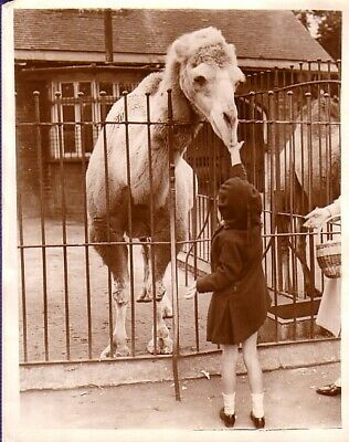 England Zoo Life Camel Desert Ship With little girl chameau fillette Photo 1930'