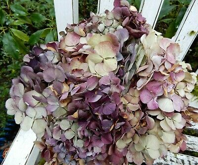 12 Dried Hydrangea Flowers Lt Green, Cream, Pink and Burgundy Crafts SECONDS