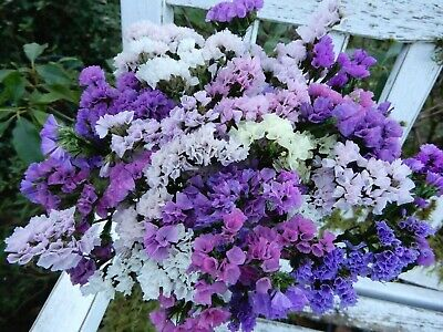 "Dried Statice Sinuata Pink, Purple + White 20 Stems 10""+ Wildflowers Weddings"