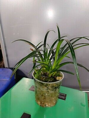 Phragmipedium pearcei Xl