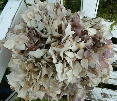 15 Dried Hydrangea Flowers Antique Cream + Burgundy Wedding Primitives SECONDS