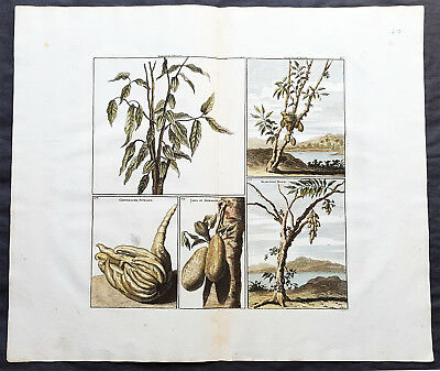 1711 Cornelius De Bruyn Antique Print of Fruit, Trees & Bushes of East Indies
