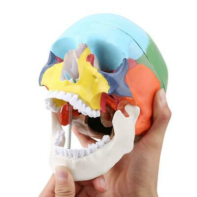 Medical Teaching Coloured Adult Human Skull Model with Identification Card