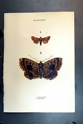 Original Old Antique Print Butterfly Insect Pine Ol Beauty