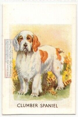 Clumber Spaniel Dog Canine Pet Large Vintage Ad Trade Card