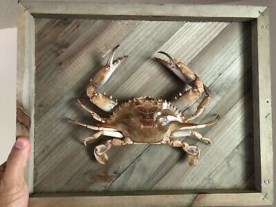 Blue Crab Taxidermy No Paint Natural Classic Wood Mount