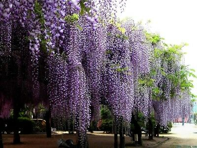 Blue Chinese Wisteria Vine, Wisteria sinensis, Flower Seeds tree (Fast, Showy)