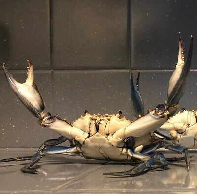 Real Blue Crab Taxidermy No Chemicals All Handmade Attack Position