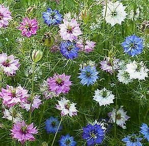 Love in a mist Nigella Miss Jekyll mixed 100 seeds