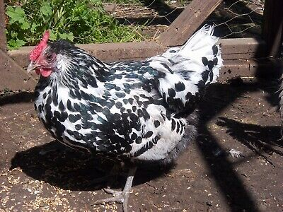 6  Fertile Silver Spangled Hamburgh Bantam Chicken Hatching Eggs