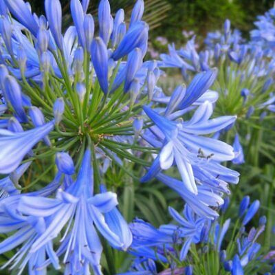 Agapanthus mixed colour seeds x 30 Whites and blues of various shades