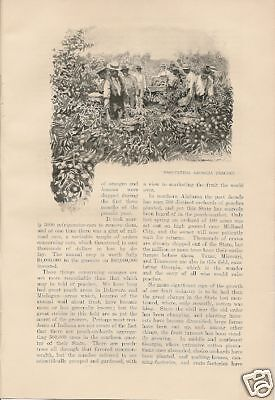 1900 Fruit Growing in America vintage magazine article by Theodore Dreiser