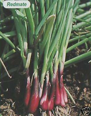 HOLLAND REDMATE RED SPRING ONION  SEED AP 100 SEED 115p + FREEPOST