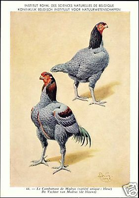 Chicken, Hen Rooster, Madras Fighter 1950s Signed Delin