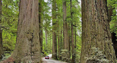 Coast Redwood (Sequoia sempervirens) - 50 2016 Seeds Bonsa or/Feature