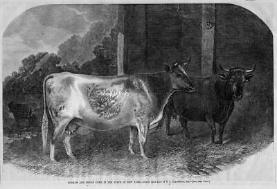 Cows, Durham And Devon Cows, Livestock, New York State, Farm Stock Engraving