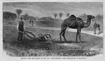 Camel And Lawnwork 1869 New York Central Park Mowing The Grass With The Camel