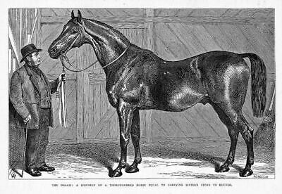 Thoroughbred Horse Specimen, The Drake, Sixteen Stone