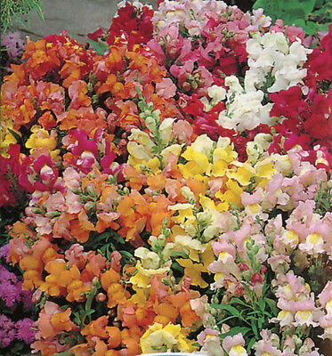 TOM THUMB SNAPDRAGON SEED MIXED COLOURS DWARF VARIETY HARDY FLOWERING 2550 SEEDS