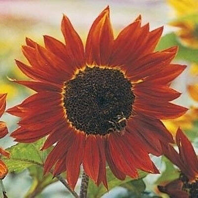 SUNFLOWER Prado Red 10 seeds