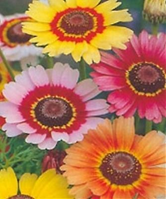 Chrysanthemum Painted Daisy Mixed Ap 40 Seed Tricolor Flowers Hardy Annual