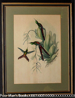 Hand-Colored Lithograph. Gould, John. Cometes Phaon 1865 Framed Birds Art