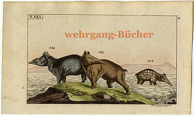 Tapirs, Original hand colored copper engraving from ca 1810
