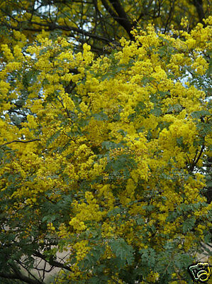 Mudgee Wattle Seed Drought & Frost Tolerant Evergreen Spectacular Flowerer